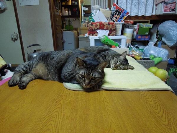 トラ柄コンビ みーちゅけとハニー.jpg